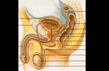350px-Male_anatomy