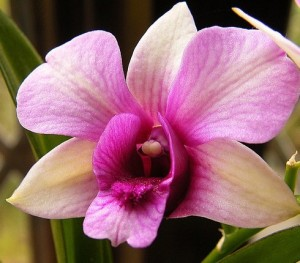 orchid-flower-14